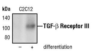 TGFBR3 Antibody (PA5-17529)