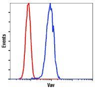 VAV1 Antibody (PA5-17834)