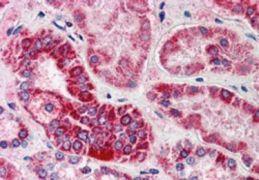 GULP1 Antibody (PA5-18051)