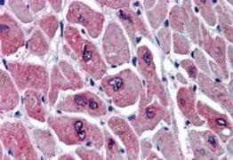 PAR6 Antibody (PA5-18233)