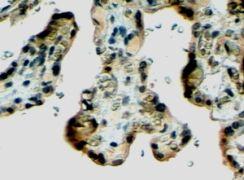 Klotho Antibody (PA5-18447)