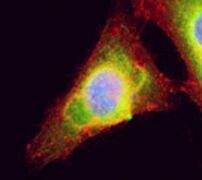 UBC9 Antibody (PA5-19609)