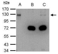 DDB1 Antibody (PA5-21282)