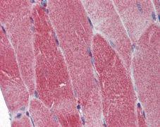 POLG Antibody (PA5-21314)