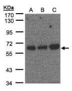 PUF60 Antibody (PA5-21411)