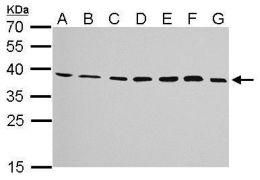 JAM2 Antibody (PA5-21576)