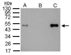 LDB1 Antibody (PA5-21577)