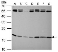 ARF1 Antibody (PA5-21606)