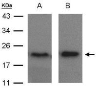 ARF5 Antibody (PA5-21608)
