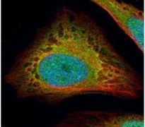 FLII Antibody (PA5-21735)