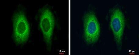 RAE1 Antibody (PA5-21739)