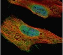 GLE1 Antibody (PA5-21816)