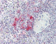 LITAF Antibody (PA5-22004)