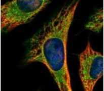 PEX19 Antibody (PA5-22129)