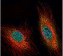 DEDD Antibody (PA5-22193)