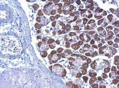 LETM1 Antibody (PA5-22233)