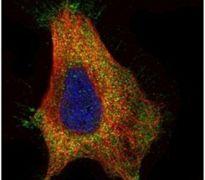 GAD65 Antibody (PA5-22260)