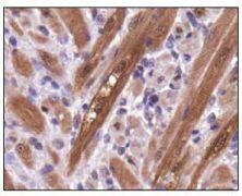 PGAM1 Antibody (PA5-23051)