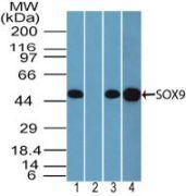 SOX9 Antibody (PA5-23383)