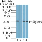 SIGLEC9 Antibody (PA5-23503)