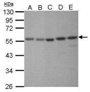XRCC4 Antibody (PA5-27104)