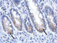 LGR5 Antibody (PA5-27178)