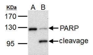 PARP Antibody (PA5-27219)