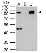 NFkB p105 + p50 Antibody (PA5-27266)