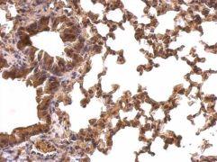 PRDX1 Antibody (PA5-27487)