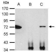Ku70 Antibody (PA5-27538)