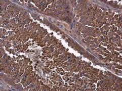 MCL1 Antibody (PA5-27597)