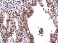 COBRA1 Antibody (PA5-27602)