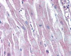 Arp2 Antibody (PA5-27879)