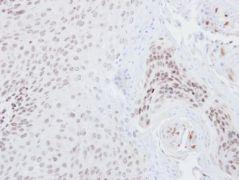 Nrf2 Antibody (PA5-27882)