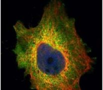 PDCD4 Antibody (PA5-28150)