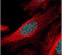 ZNF38 Antibody (PA5-28154)