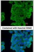 Latexin Antibody (PA5-28534)