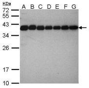 CrkL Antibody (PA5-28622)
