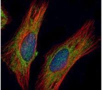 CHIC2 Antibody (PA5-28942)