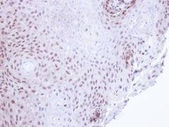 SMC3 Antibody (PA5-29131)