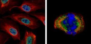 SUMO1 Antibody (PA5-29184)