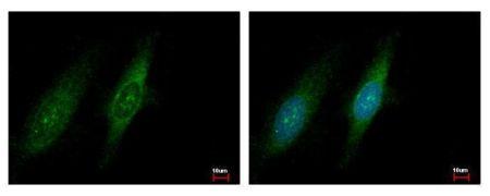 GCN2 Antibody (PA5-29290)