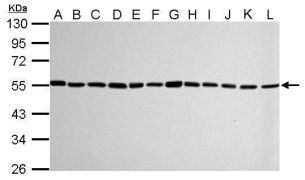 alpha Tubulin Antibody (PA5-29444)