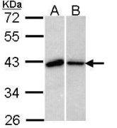 Bub3 Antibody (PA5-29781)