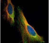 ARC Antibody (PA5-29861)