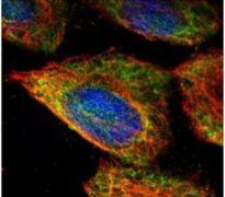 ESD Antibody (PA5-30020)