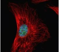 SRSF1 Antibody (PA5-30220)