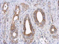 LRP130 Antibody (PA5-30357)