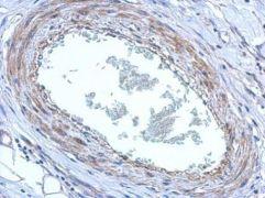FBXO8 Antibody (PA5-30512)