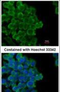FABP4 Antibody (PA5-30591)